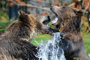 grizzly-210996_1920