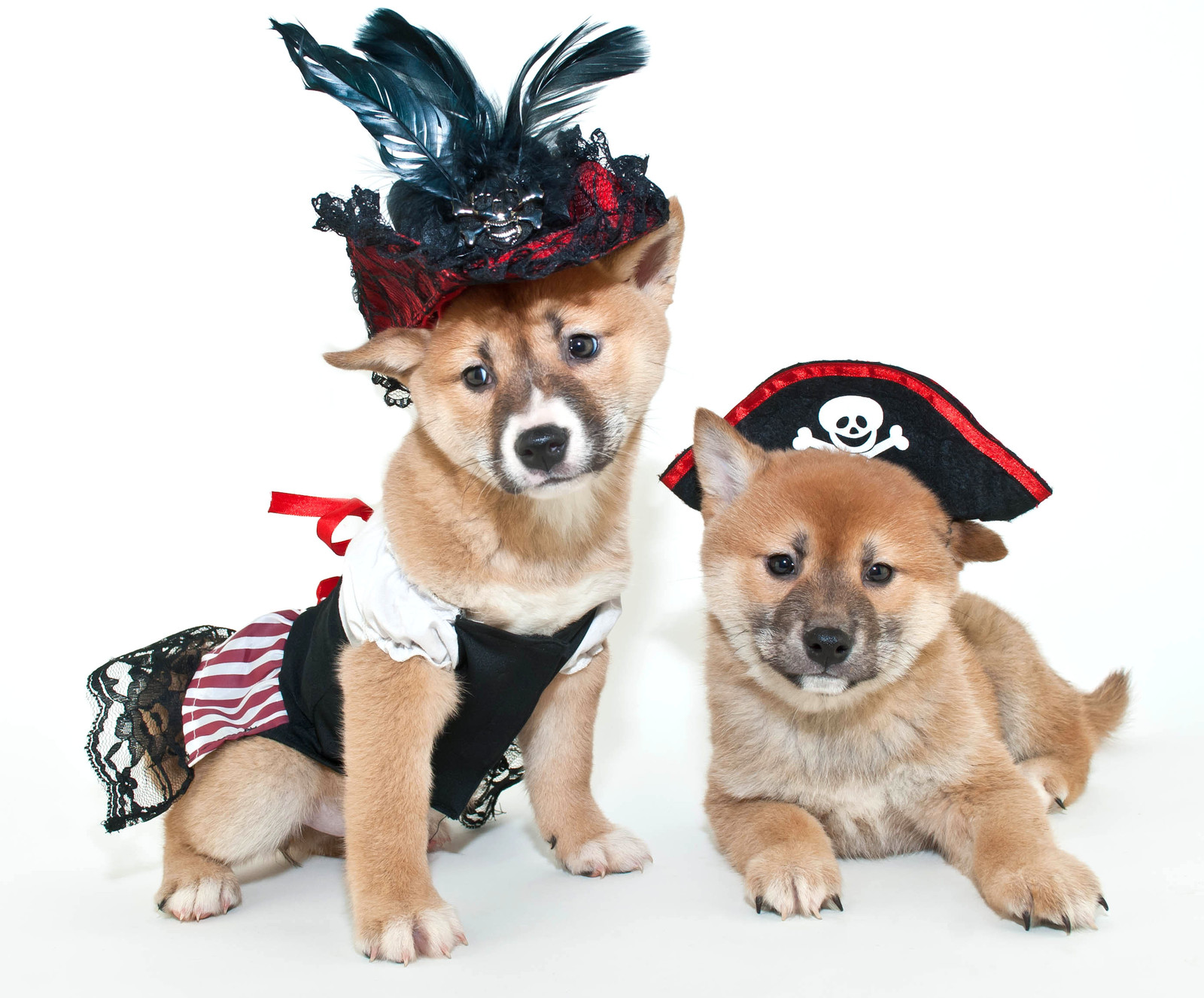 Two Shiba Inu (a breed of dog) puppies. They are small with golden-colored fur. They are both wearing hats; one is wearing a pirate hat and the other is wearing a feather hat.