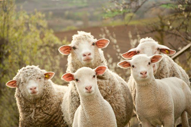Bamboozled Sheep