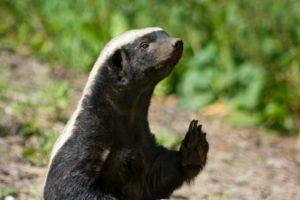 Baltic Honey Badger