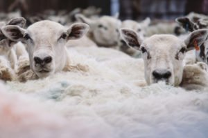 sheep sheer fees