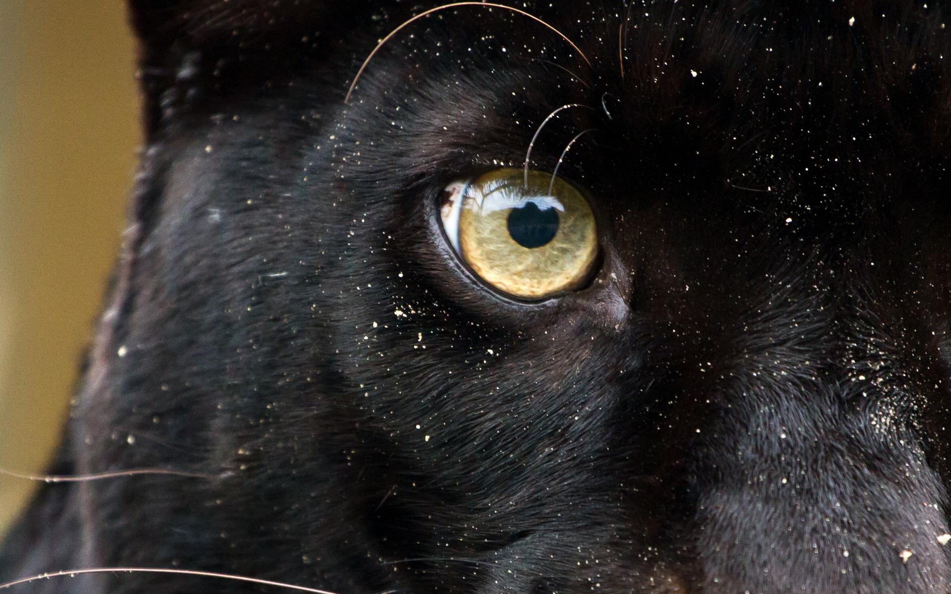 картинка глаза пантеры с голубыми глазами если кого-то завалялись