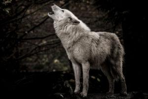 wolfpackbot wolf