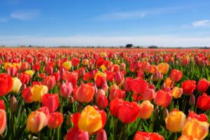 Tulip Bitcoin