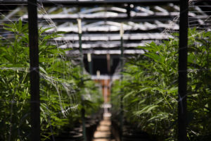 cannabis stablecoin