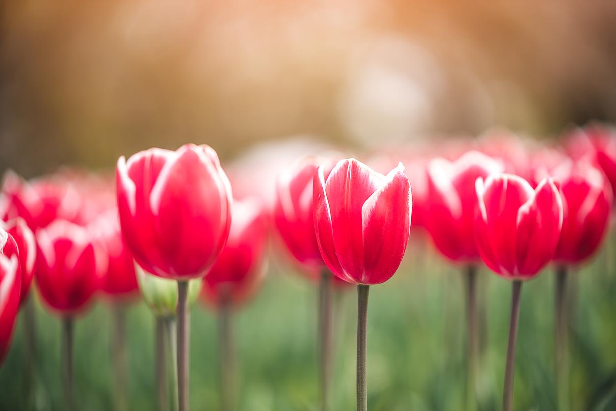 bitcoin crypto tulips tulip mania iStock-1192491693