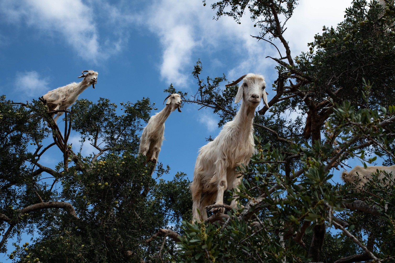 Chivo Wallet, three goats over a tree.
